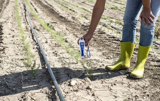 Farmer measure soil with digital device in fennel plantation. Sunny day