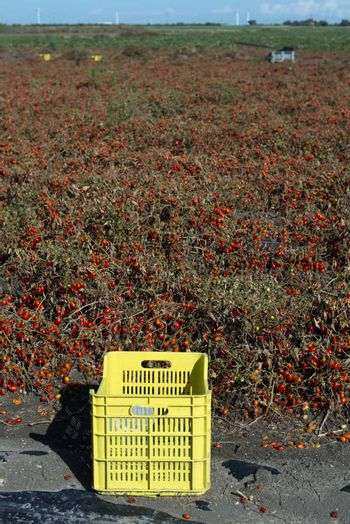 Small cherry tomatoes on the field. Overripe tomatoes on the ground. Yellow crate. Agriculture land.