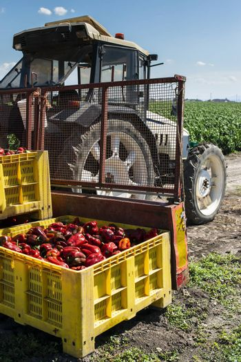 Mature big red peppers on tractor in a farm. Close-up peppers and agricultural land.