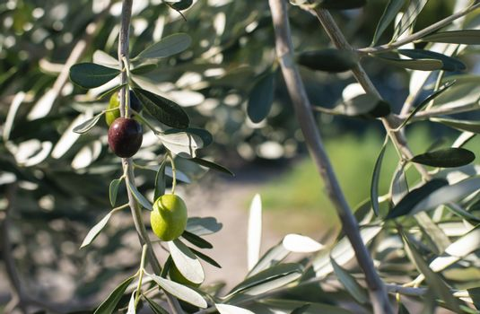 Ripe olives on branch. Sunlight. Close up olives on tree.
