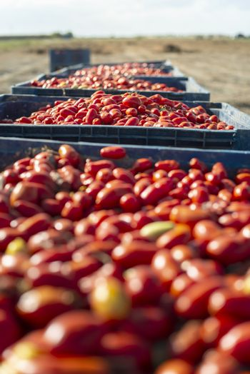 Big crates with tomatoes. Farm for growing tomatoes for canning industry.