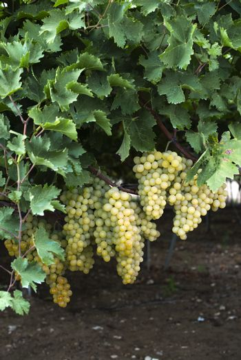 Dessert white grapes. Variety of grapes for eating. Fuit food