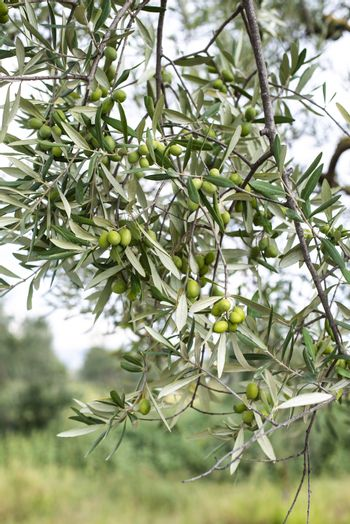 Olive tree close up. Branch with olives.