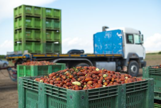 Tomatoes for canning on truck for transportation. Agriculture land and crates with tomatoes. Harvested tomatoes.