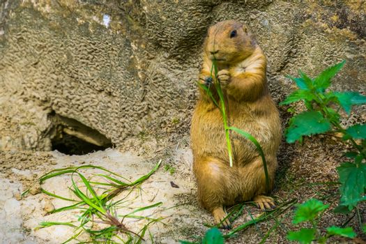 beautiful closeup portrait of a black tailed prairie dog holding and eating grass, popular tropical rodent specie from America