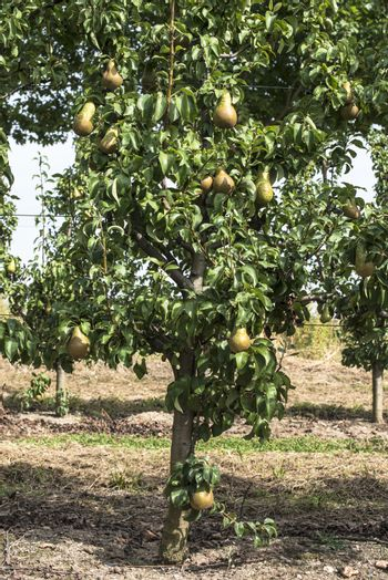 Pears in orchard