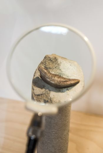 Tooth of an ancient beast