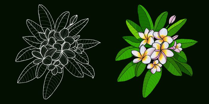 Vector set of branch and flowers outline Plumeria or Frangipani black white and colorfull. Set of Hand drawn exotic tropical flowers in contour style for print for design.