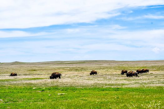A portrait shot of buffaloes in the green pasture of the preserve national park