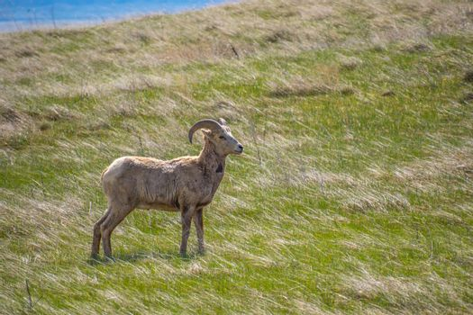 A portrait shot of sheep in the green pasture of the preserve national park