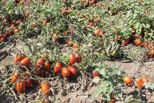 Tomatoes grown in the field