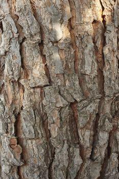 Bark of maritime pine