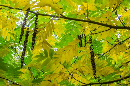 catkins hanging on a caucasian wingnut tree during autumn season, Beautiful golden and green leaves, seasonal nature background