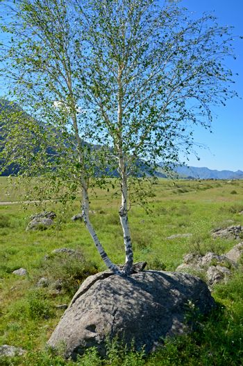 Power of life. A birch split a stone with its roots
