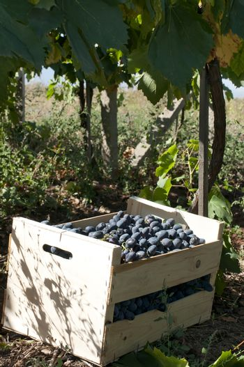 Crate of grapes in vineyards. Red grape