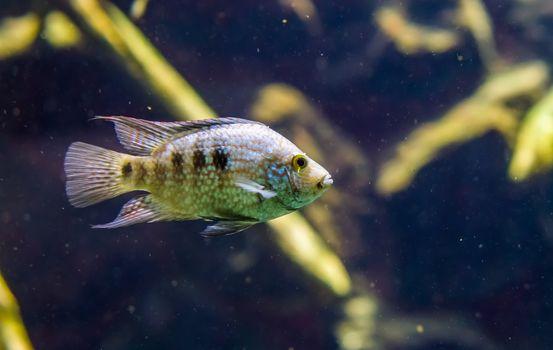 closeup of a texas cichlid, Rio grande perch, tropical pearl colored fish, Exotic specie from the Rio grande river of texas