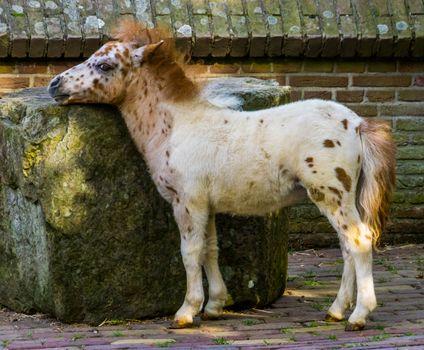 closeup portrait of a cute small white shetland pony, popular animal specie