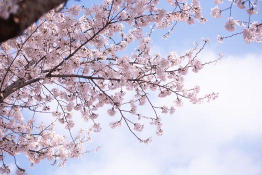 Cherry Blossom in spring with Soft focus, Sakura season in korea,Background.