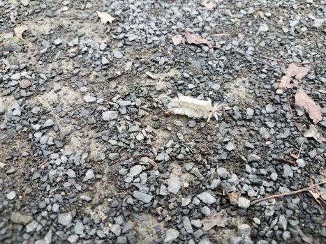 white fuzzy caterpillar on pebbles or gravel
