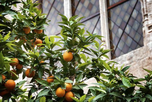 orange fruit on the trees