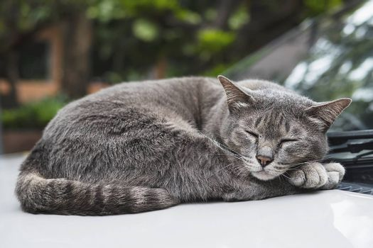 Lovely sleeping cat Thai home pet take a nap on a car - domestic animal concept