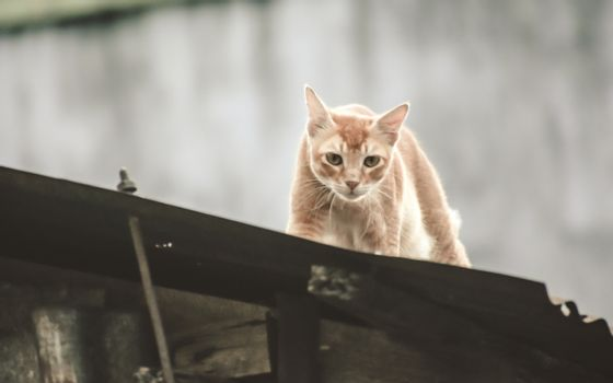 Cute Gold color Abyssinian cat spotted in hunting mood on roof top of a residential building. Black aggressive Cat's Eyes looking in attention to satisfy its natural hunting instincts. Close up. High Angel view.