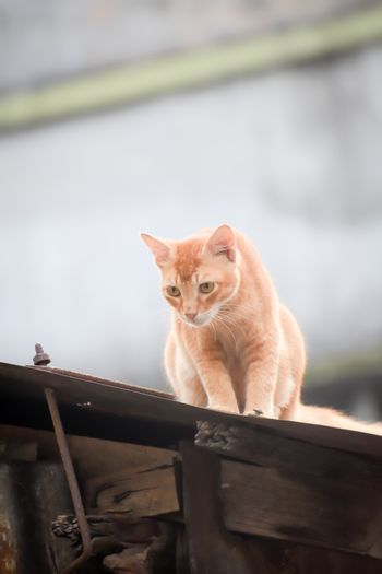 Cute Gold color Abyssinian cat spotted in hunting mood on the roof of a residential building. Black aggressive Cat's Eyes looking in attention to satisfy its natural hunting instincts. Close up. High Angel view.