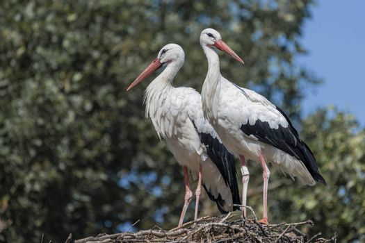 Two adult storks Ciconiidae standing on a big nest