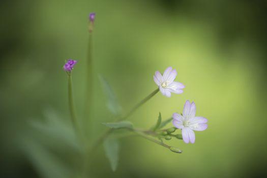 Pelargonium Geranium rotundifolium flower belonging to the family Geraniaceae with beautiful bokeh