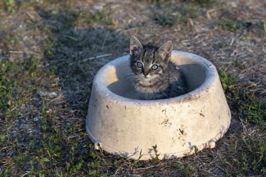 Young kitten on a farm in a feeding trough looking curious at the camera