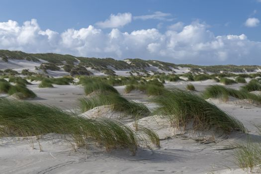 Green colored beach grass in the wind on the sandy beach of the island of Terschelling in the northern Netherlands