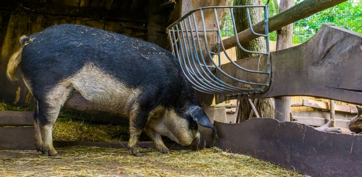 swallow bellied mangalitsa pig eating hay in the shed, domesticated cross breed from hungary