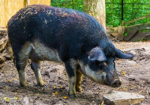 swallow bellied mangalitsa pig in closeup, domesticated hybrid breed from Hungary