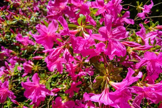 Mirabilis jalapa, the miracle of Peru or a four-hour flower, is the most common ornamental species of the Mirabilis plant and is available in various colors