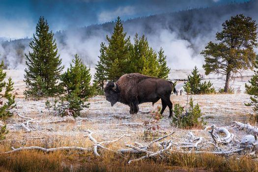 Bison inside area of Old Faithful, famous geyser of Yellowstone National Park, Wyoming, USA, with smoke from geothermal heat of many geyser basins.