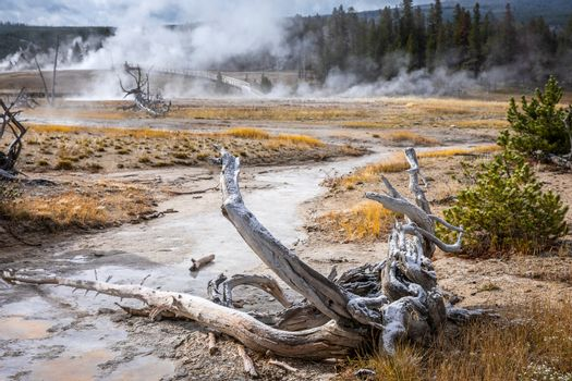Dead trees in hot environment of geyser basins in Yellowstone National Park, Wyoming, USA.