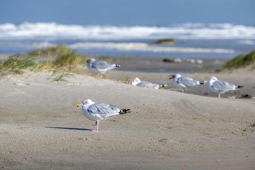 Sea gulls on the Beach of the frisian island of Terschelling