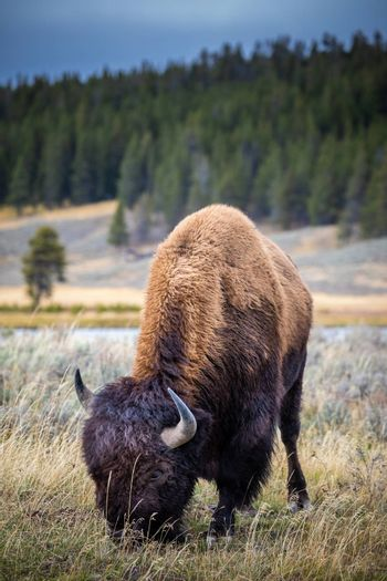 American bison eating grass in Yellowstone National Park, Wyoming, USA.