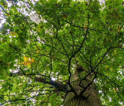 sky view of a oak tree, green and yellow foliage during early autumn, common plant specie