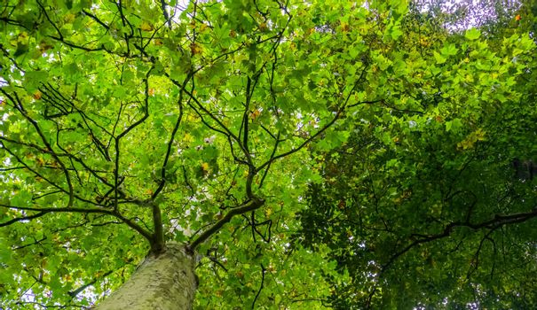 sky view of a maple tree with green leaves, common flowering plant specie, nature background