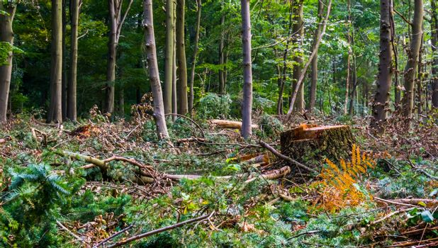 scenery of the liesbos forest in Breda during deforestation for upkeep, tree stump of a cut down tree and branches