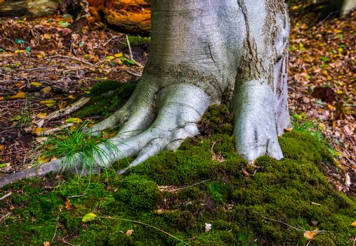 close op a grey tree trunk with firm roots and green moss covering, nature background, liesbos, Breda, The netherlands