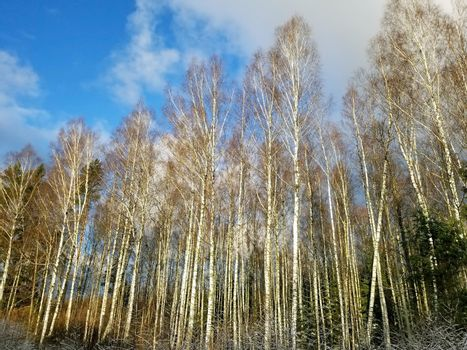 View of a winter birch forest against a blue sky.