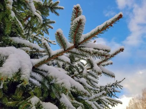 branches of spruce covered with snow. Against the blue sky with white clouds.