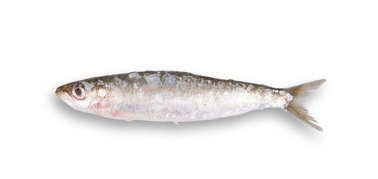 fresh sardine on white background