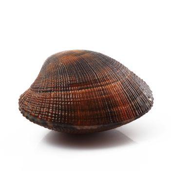 isolated fresh clam on white background