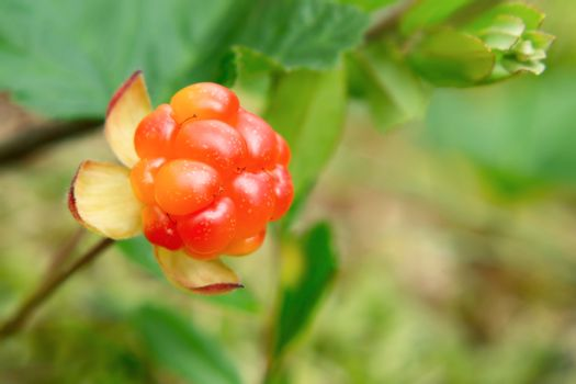 Cloudberry berry grows in a summer forest in a swamp