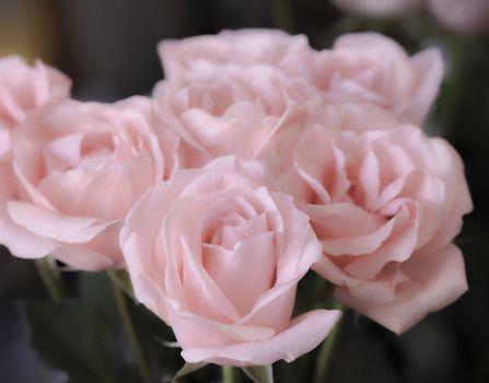 Bouquet of soft pink roses, studio shot. Selective focus. Romance concept.