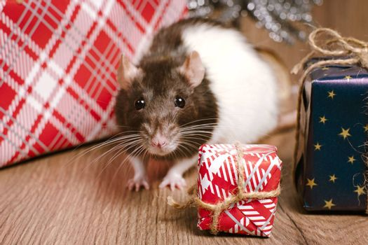 The rat is a symbol of the new year. A cute rat is sitting next to boxes with gifts.Symbol of New Year 2020 white rat. Cute rat with Christmas decorated.
