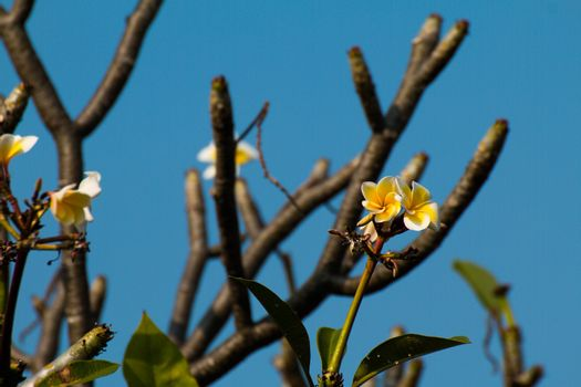 The most beatiful plumeria flowers, yellow  and white colors.